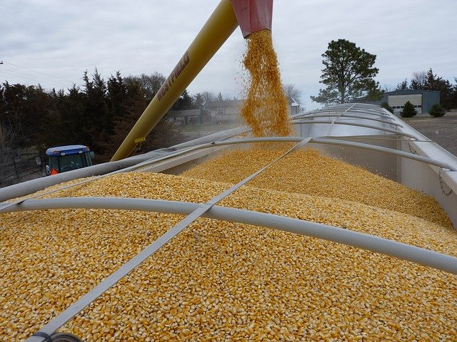 Maize spill shows risks of GE seed escape