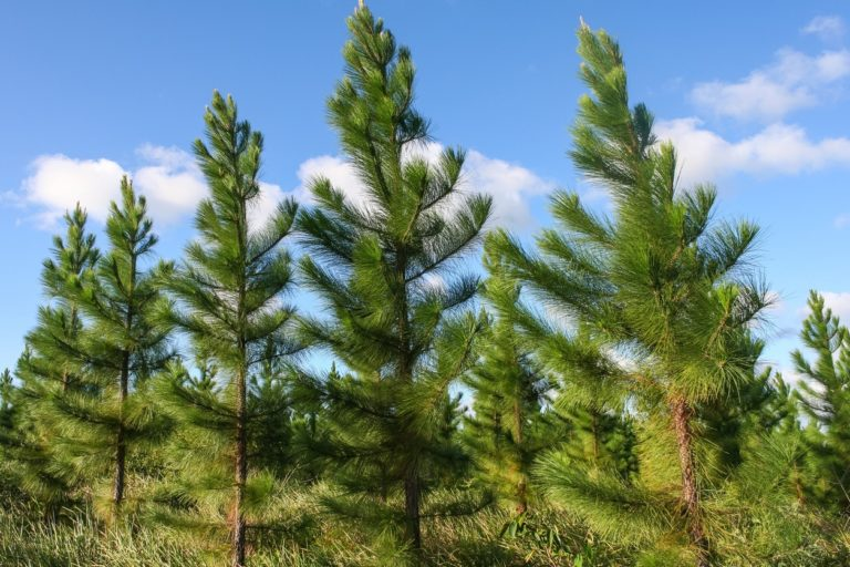 Councils retain right to regulate GE trees